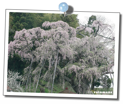 地蔵桜3.jpg