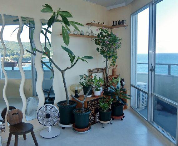 Plumeria frangipanier တရုတ်စံကား プルメリア ベランダ 育て方 栽培 剪定 ハワイ