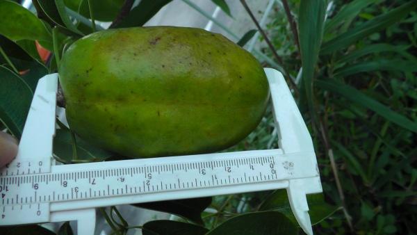 9センチほどになったが、緑のままのムベの実