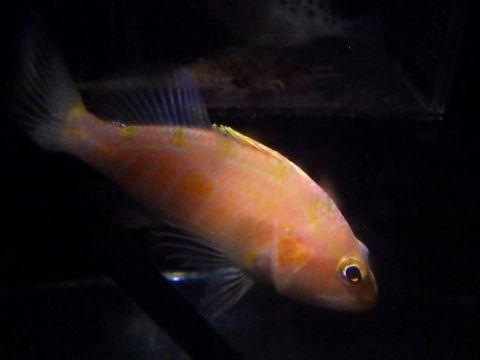カスミサクラダイ(Plectranthias japonicus)1 深海魚飼育
