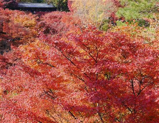 京都紅葉見ごろ