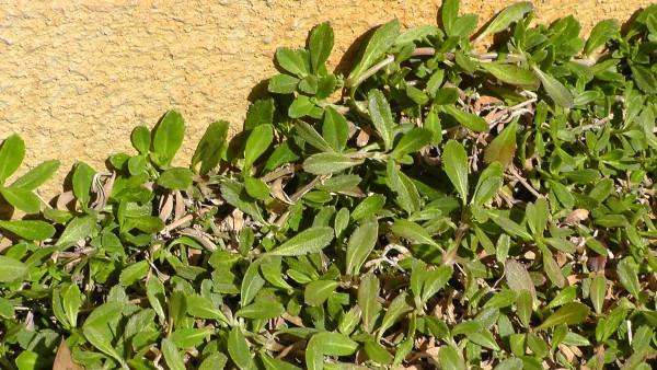 冬の間も枯れずに緑を保っていたイワダレソウ