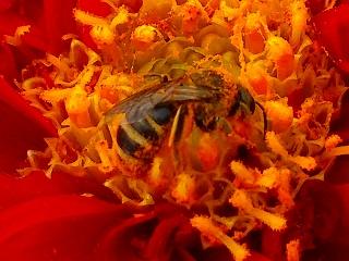 蜜蜂ダリア