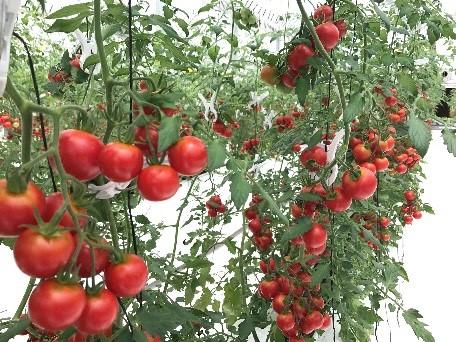 オスミックトマト2