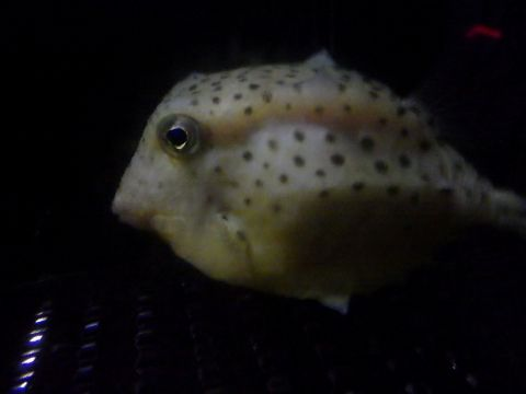 イトマキフグ(Kentrocapros aculeatus)1 深海魚飼育