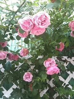 ガーデンカフェ タイム ピンク薔薇