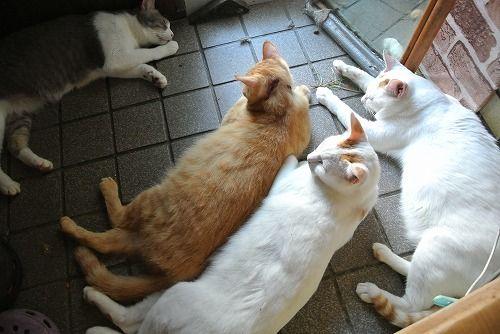 白猫みゃーこ