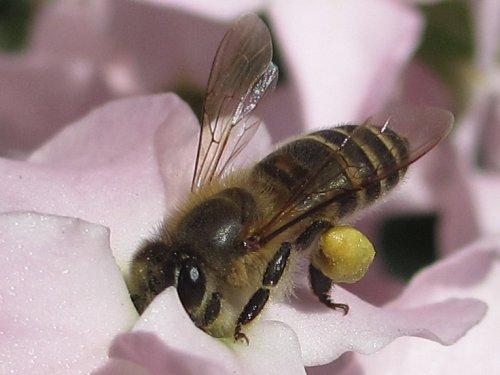 ストックの蜜を吸うミツバチ(3月)