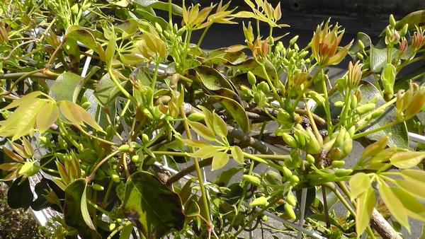 ムベの新しい葉や花のつぼみ