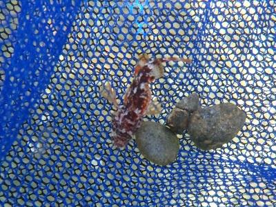 串本磯採集2013年9月下旬22 フサカサゴ科(Scorpaenidae)の種
