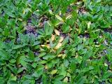 クラピアの葉っぱが黄変