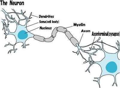 神経細胞(英語).jpg