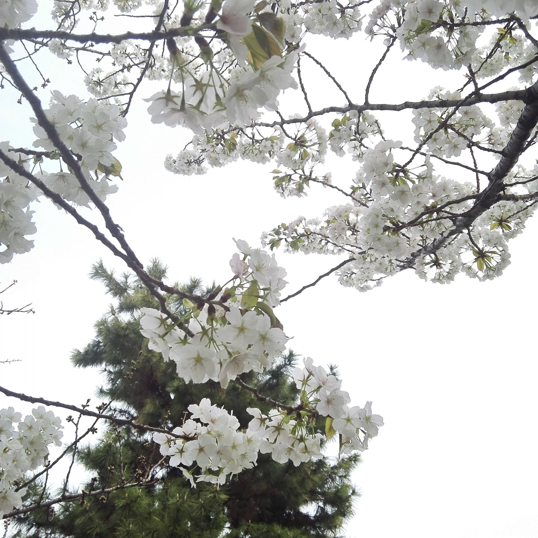 皇居_桜_up