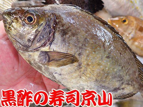 アイゴ 寿司 出前 未利用魚