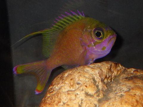 バラハナダイ(Odontanthias katayamai)61 深海魚飼育