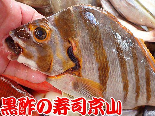 タカノハダイ 寿司 出前 未利用魚
