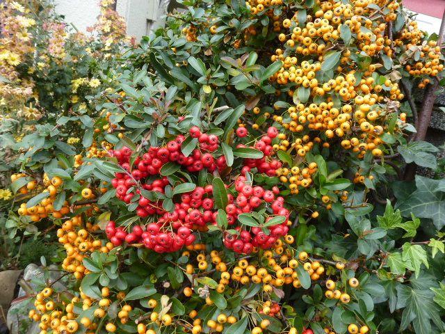 ピラカンサス、赤と黄色 (写真あり) | 私の好きな花♪ - 楽天ブログ