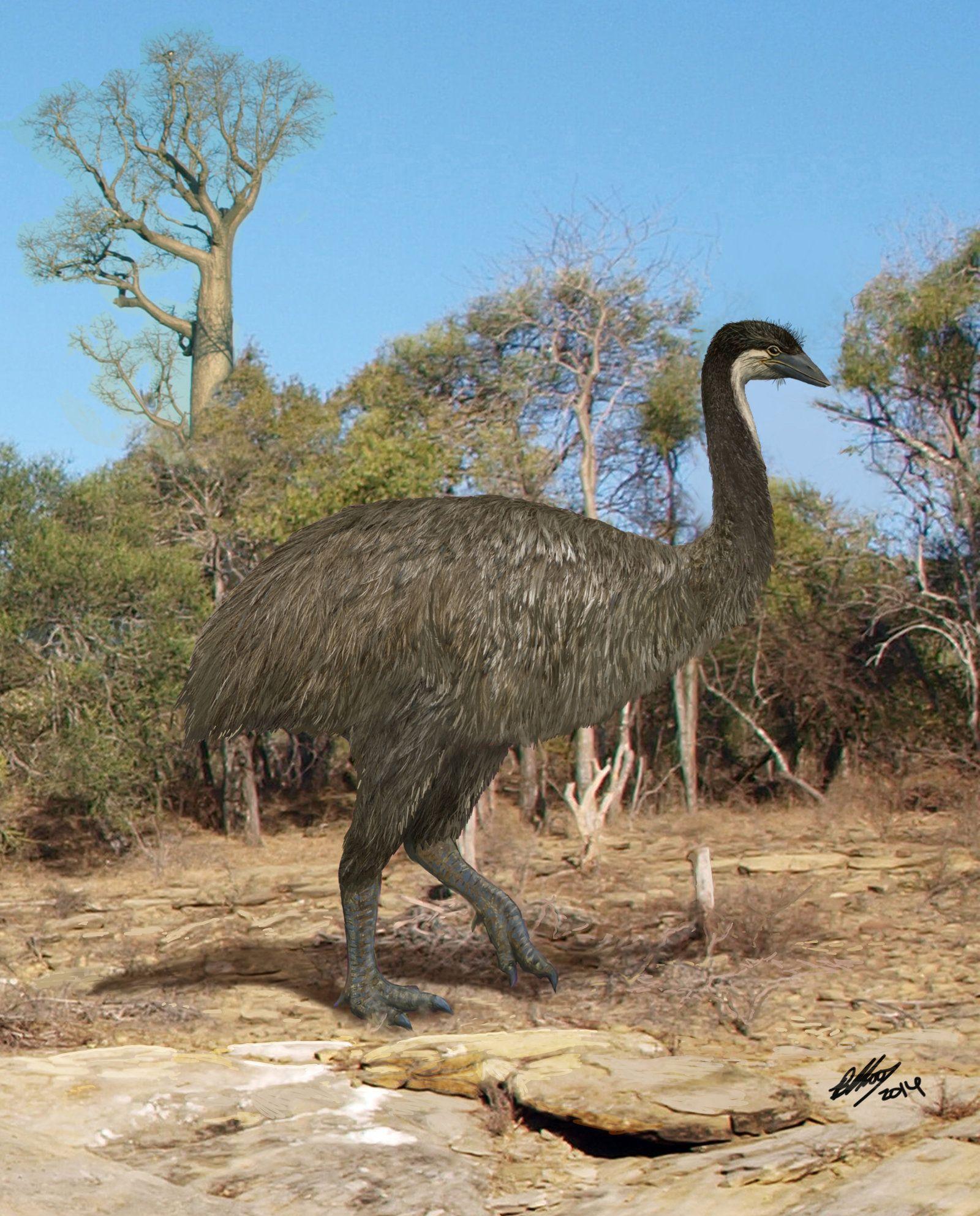 その1つ、その名も英名で象鳥(elephant  bird)と呼ばれるエピオルニス(想像図)は、遙かなる近縁種のティラノサウルス・レックスの絶滅以降、新生代(6500万年