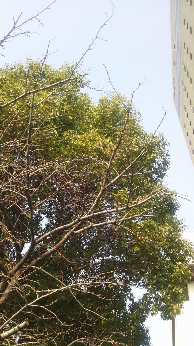 20120313ニュースカイ前の桜