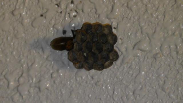 アシナガバチ 蜂の巣 女王蜂