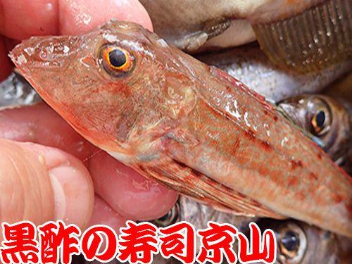 ホウボウ 寿司 出前 未利用魚