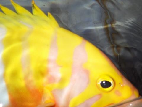 シマハタ(Cephalopholis igarashiensis)62 深海魚飼育 ネプチューングル―パー