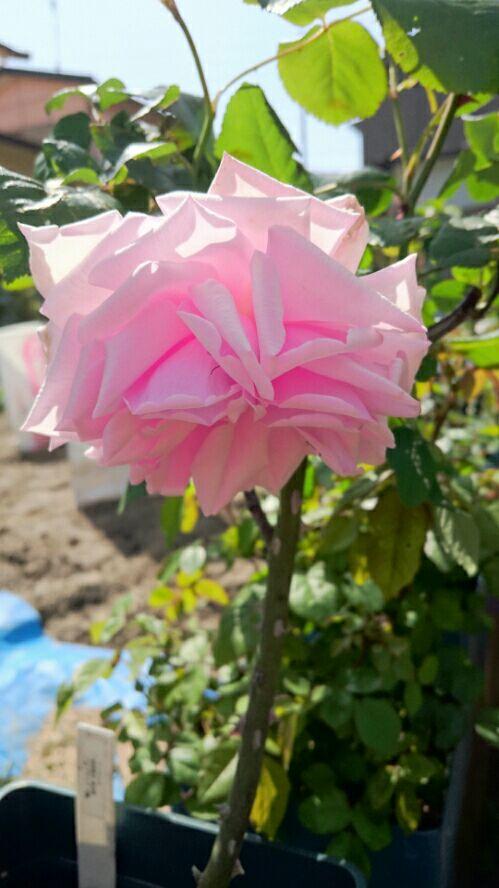 苺娘のバラ庭日記