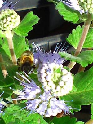 ミツバチと段菊1