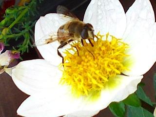 ダリアとミツバチ