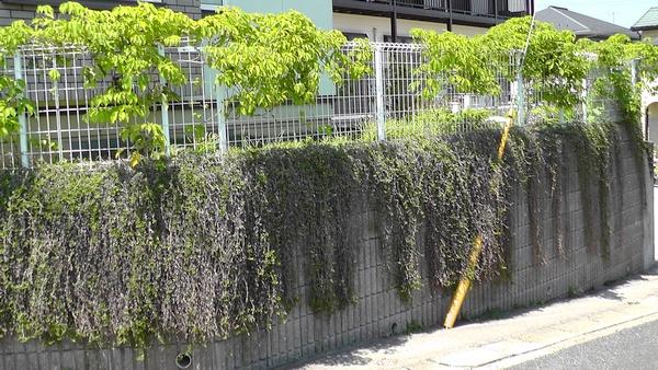 イワダレソウ クラピアS1 擁壁 ムベ フェンス 電柱の支線