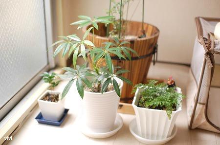 カポック 100均 しのぶ ダイソー 観葉植物 大きく 成長 買った 買いました
