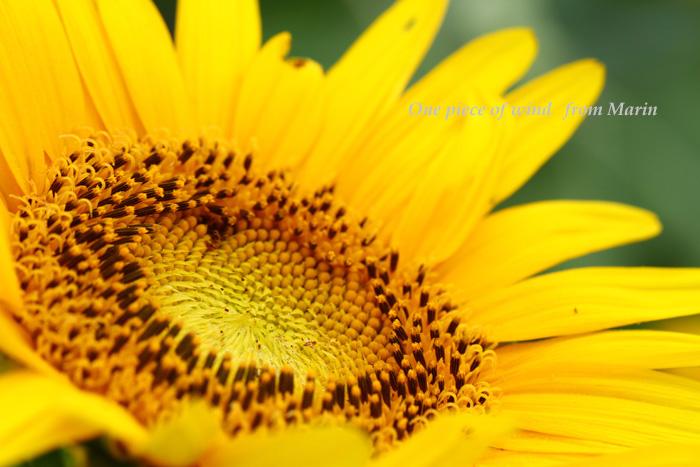 向日葵のメッセージ1