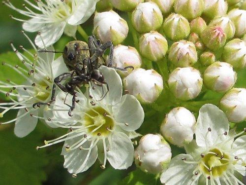 花の上のゾウムシとアリ(6月)