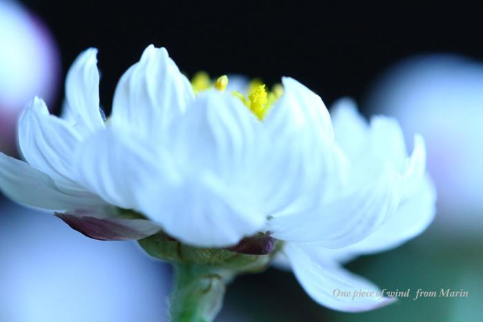 夢見る花かんざし1