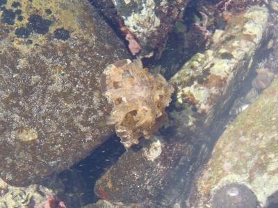 和歌山磯採集2013年9月上旬4 ミヤコウミウシ(Dendrodoris denisoni)