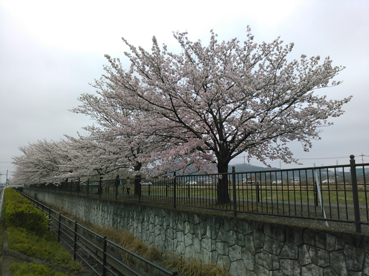 桜KIMG0078.JPG