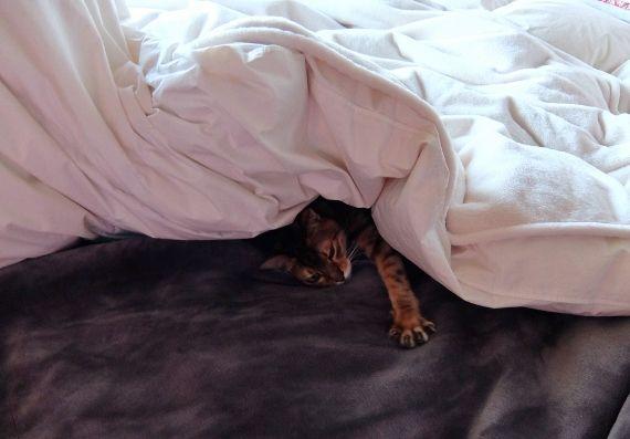 猫 ねこ 布団から出てこない ベッド