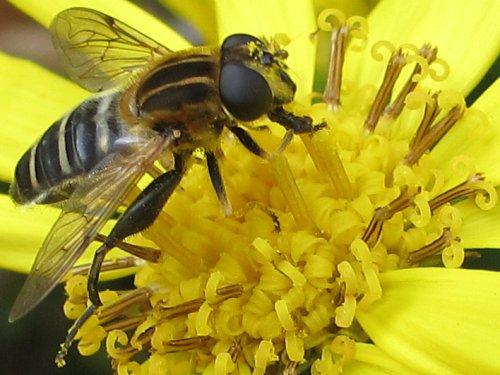 ツワブキの花にとまるアシブトハナアブ:メス(10月)