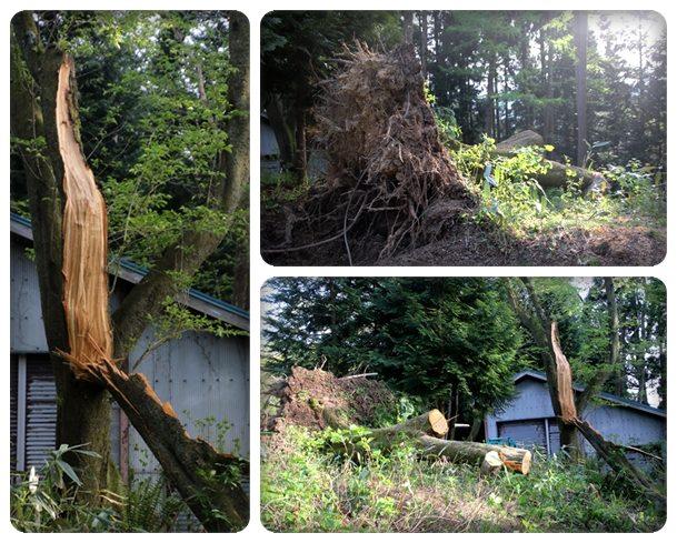 樹木公園-47 強風の被害 16.4.20