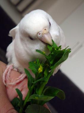 小松菜とインコ1