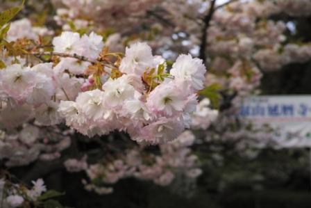 薄ピンク桜.JPG