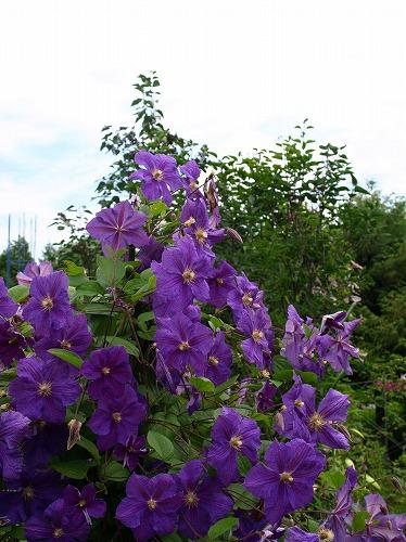 2012紫竹・クレマチス紫.jpg