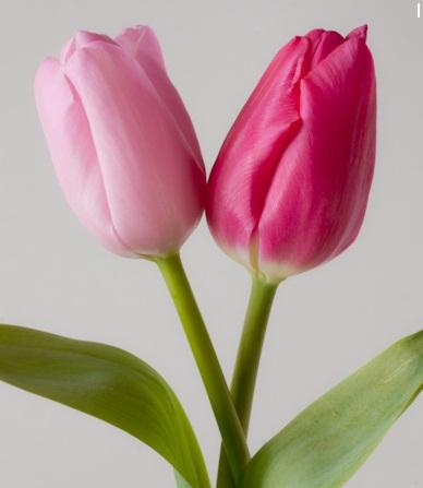 tulip17.jpg