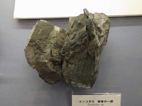 大阪市立自然史博物館2017年4月下旬18 エンコダスの頭骨の一部の化石
