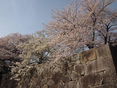 2013年4月 彦根城の桜.jpg