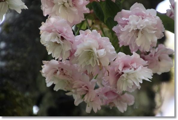樹木公園-44 大村桜 16.4.20