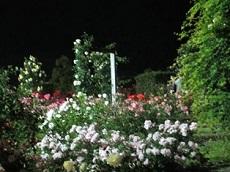 night rose 10.jpg