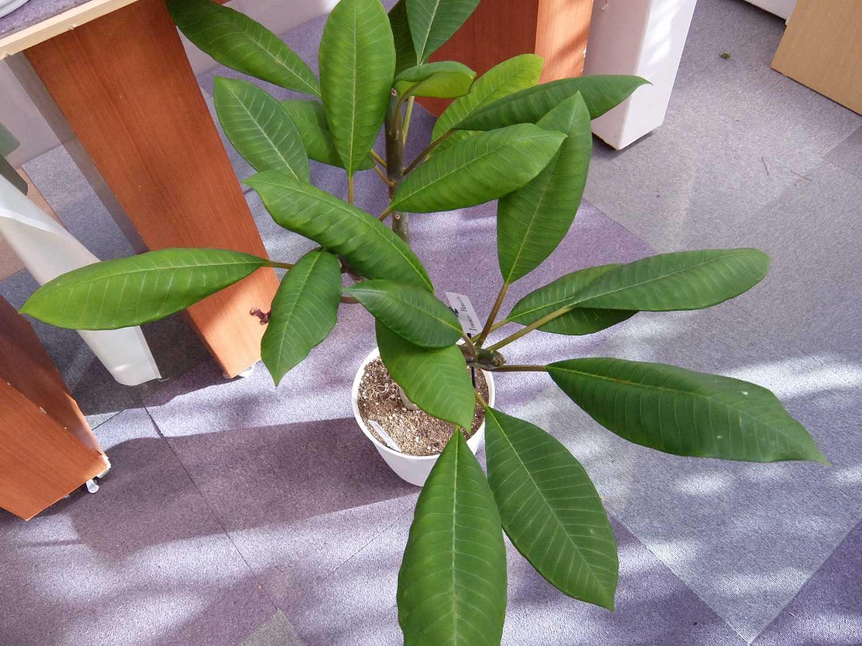 プルメリア 希少 ジャングル ジャックス Jungle Jack's 花 インナーピース Inner peace Plumeria