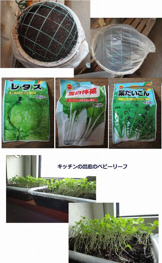 葉物野菜の種まき