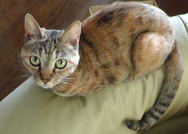 CAT ネコ 猫 ねこ キジトラ